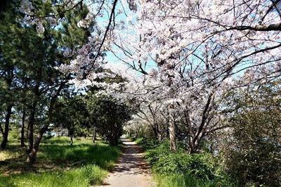 波の橋立と見ごろの桜4.jpg