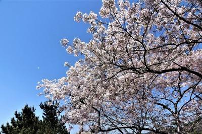 波の橋立と見ごろの桜5.jpg