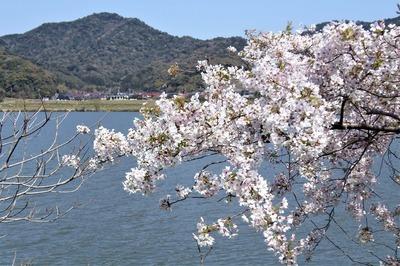 波の橋立と見ごろの桜6.jpg