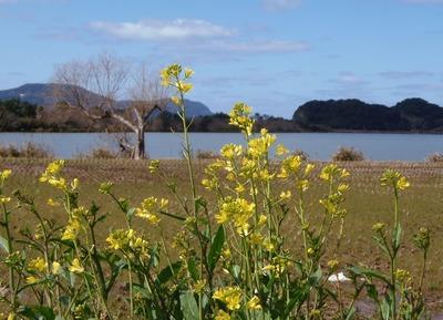 波の橋立と青海湖と菜の花.jpg