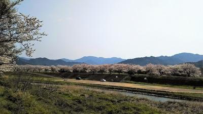 深川土手の満開の桜1.jpg