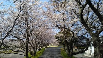 深川土手の満開の桜3.jpg