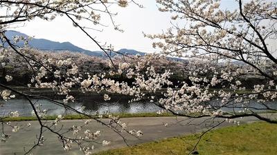 深川土手の満開の桜4.jpg