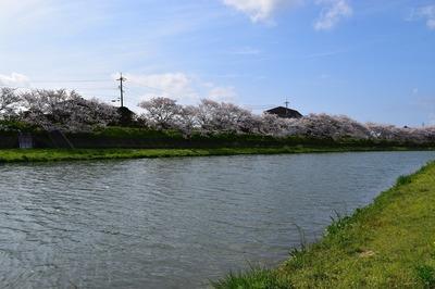 深川河川公園の桜1.jpg