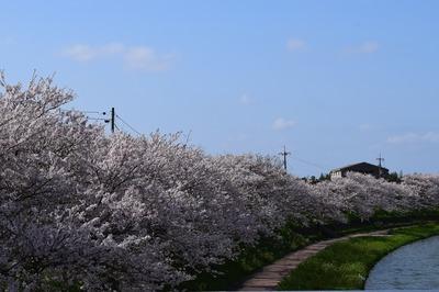 深川河川公園の桜2.jpg