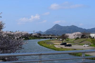 深川河川公園の桜3.jpg