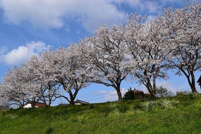 深川河川公園の桜4.jpg