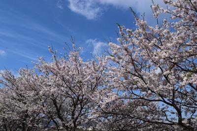 深川河川公園の桜5.jpg