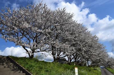 深川河川公園の桜6.jpg
