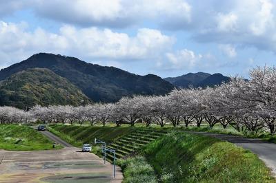 深川河川公園の桜7.jpg