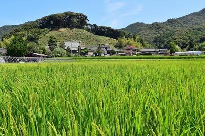 清福寺と稲穂が出たたんぼ2.jpg