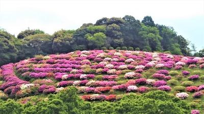渋谷造園のツツジ1.jpg