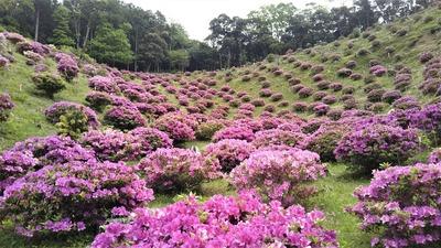 渋谷造園のツツジ7.jpg