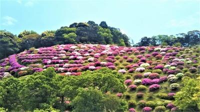 渋谷造園のツツジ園7.jpg
