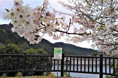 湯免ダムの桜1.jpg