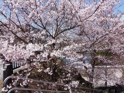 湯免ダムの桜2.jpg