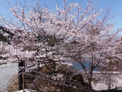 湯免ダムの桜3.jpg