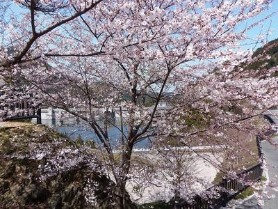 湯免ダムの桜4.jpg