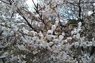 湯免ダムの桜5.jpg