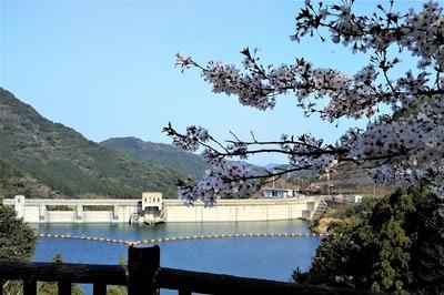湯免ダムの満開の桜1.jpg