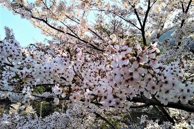 湯免ダムの満開の桜2.jpg