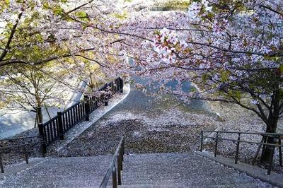湯免ダムの満開の桜3.jpg
