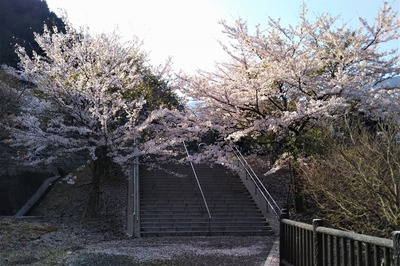 湯免ダムの満開の桜4.jpg
