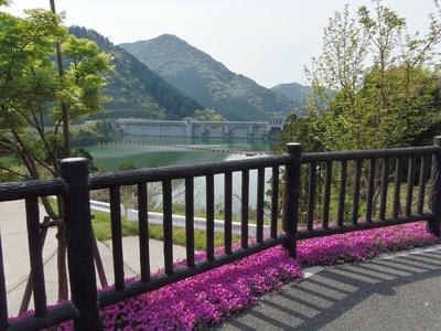 湯免ダムの芝桜1.jpg