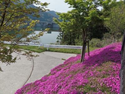 湯免ダムの芝桜3.jpg