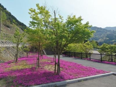 湯免ダムの芝桜4.jpg