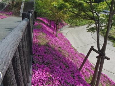 湯免ダムの芝桜5.jpg