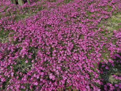 湯免ダムの芝桜6.jpg