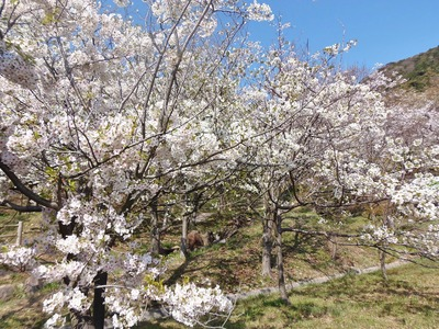 満開の桜2.jpg