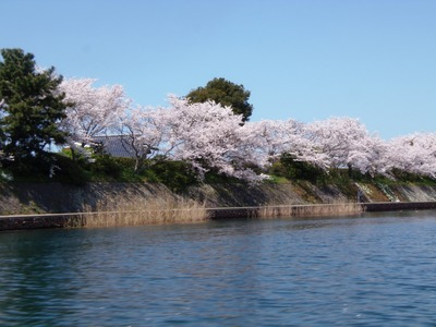 満開の桜4.jpg