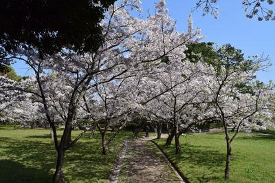 満開の桜5.jpg