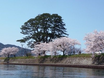 満開の桜6.jpg
