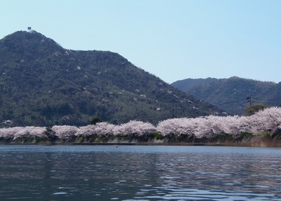 満開の桜7.jpg