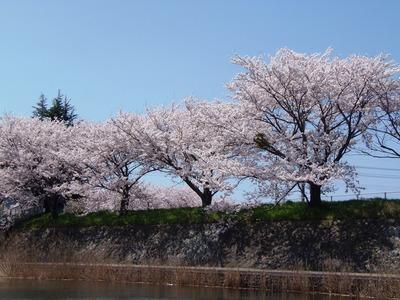 満開の桜8.jpg