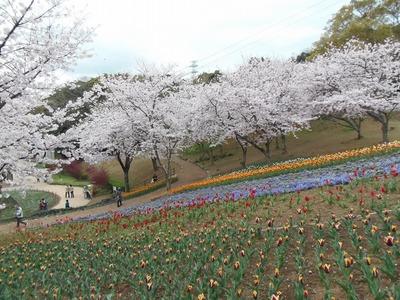 満開の桜とチュウリップ1.jpg