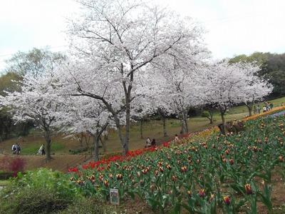 満開の桜とチュウリップ2.jpg
