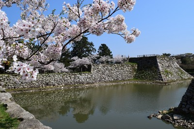 満開の桜と城跡と内堀1.jpg