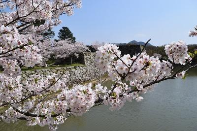 満開の桜と城跡と内堀2.jpg