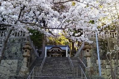 満開の桜と拝殿.jpg