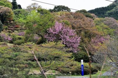 熊野山公園の八重桜.jpg