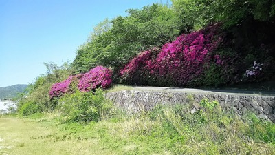 牛田東公園入口のツツジ.jpg