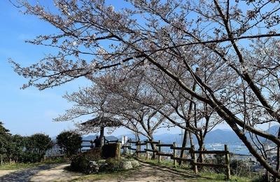 王子山公園の桜4.jpg