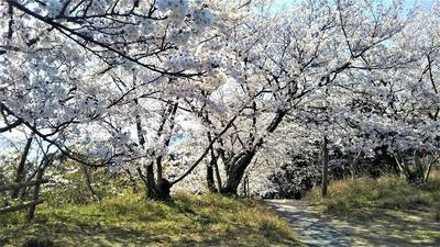 王子山公園の桜7.jpg