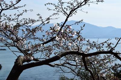 王子山公園の桜8.jpg