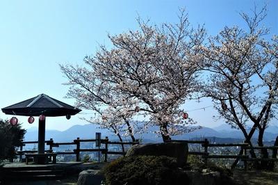 王子山公園の満開の桜1.jpg