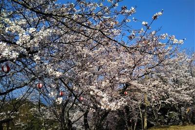 王子山公園の満開の桜4.jpg